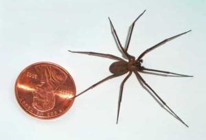 recluse-brune-